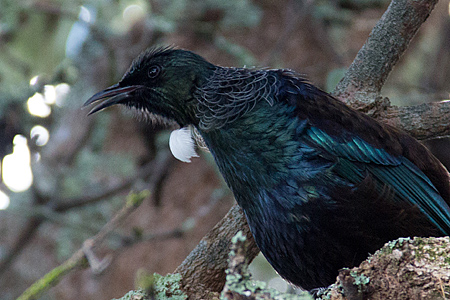 tui bird close up